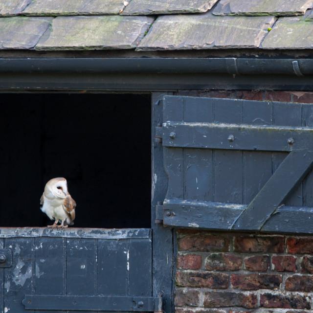 """Barn Owl"" stock image"