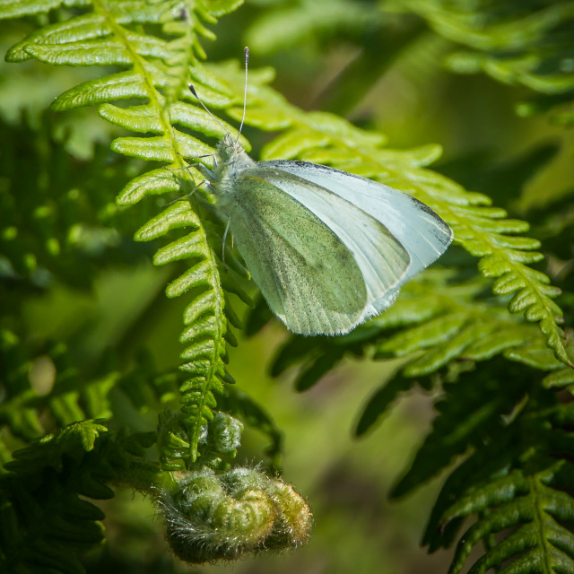 """Large White Butterfly"" stock image"