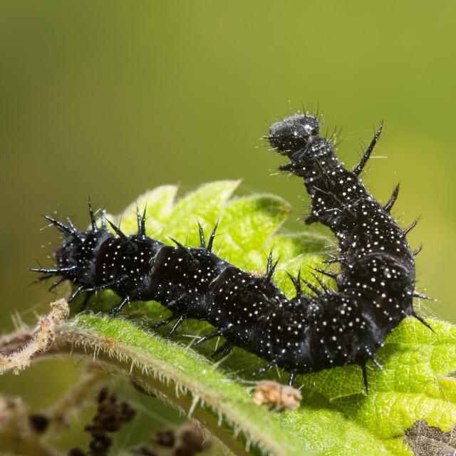 """""""Small Tortoiseshell Caterpillar"""" stock image"""