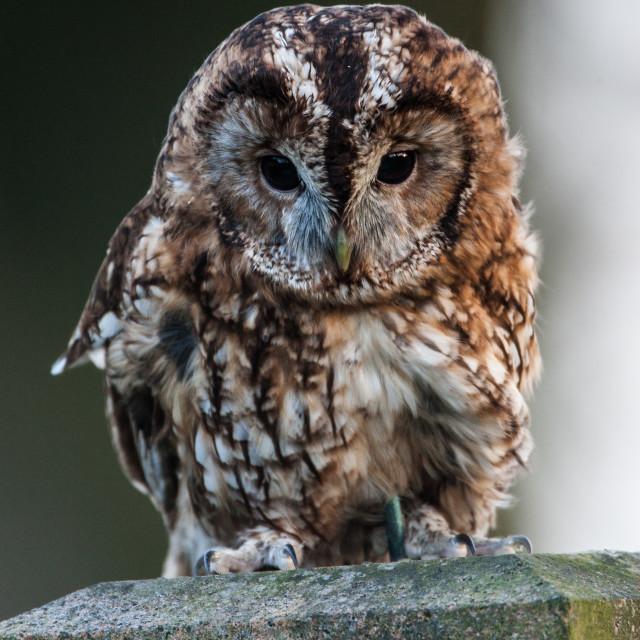 """Tawny Owl"" stock image"
