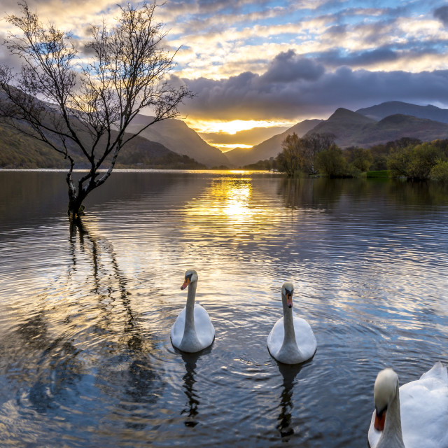 """Swan Family"" stock image"