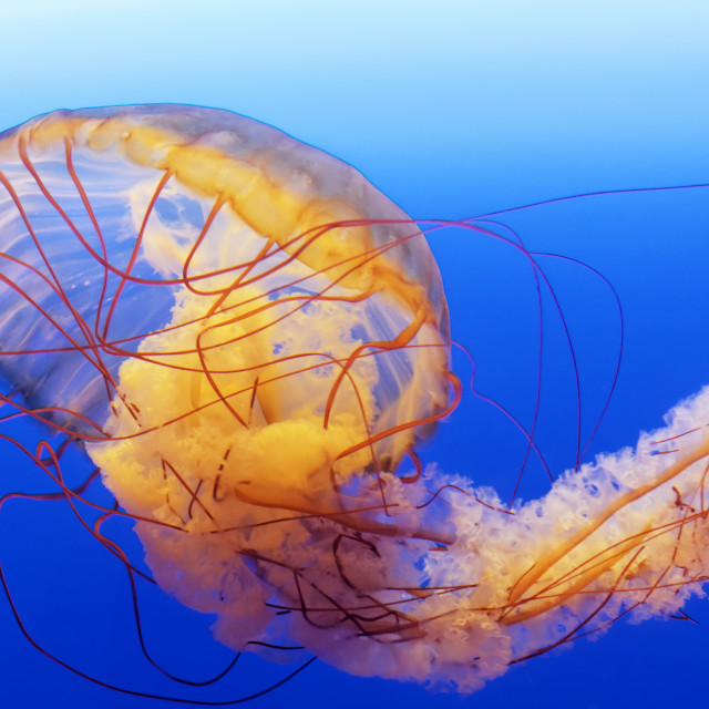 """spectacular jellyfish"" stock image"