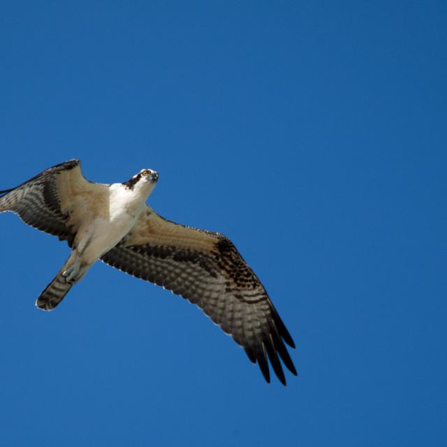 """Flying Osprey"" stock image"