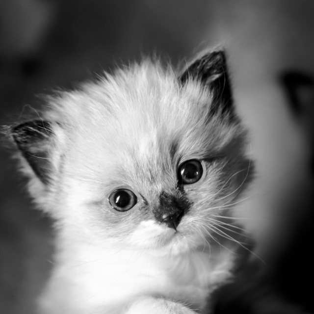 """Kitten in black and white"" stock image"