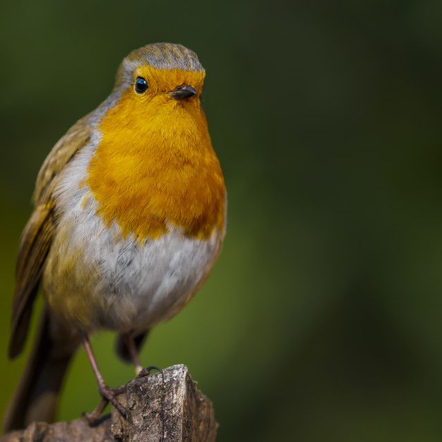 """Robin on a post"" stock image"