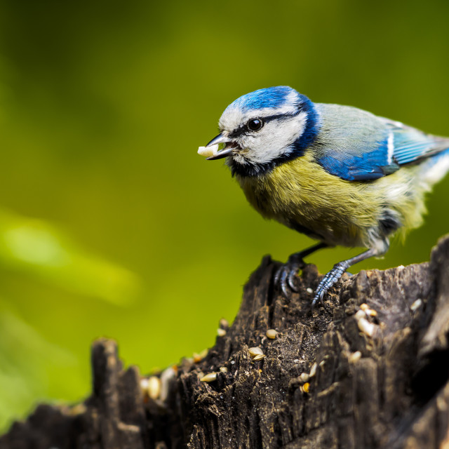 """""""Blue tit with seed"""" stock image"""