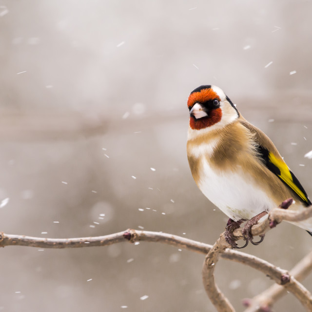 """""""Goldfinch in snow"""" stock image"""