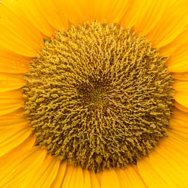 """beautiful sunflower patel"" stock image"