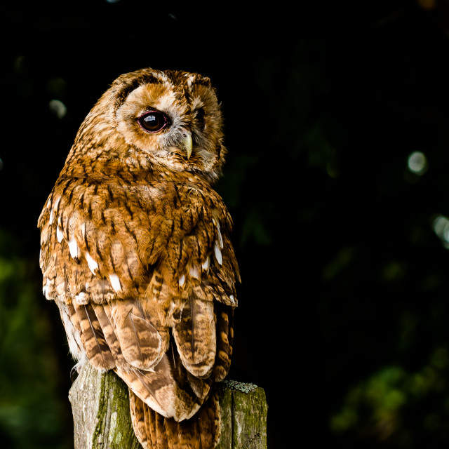 """owl on a stunp"" stock image"