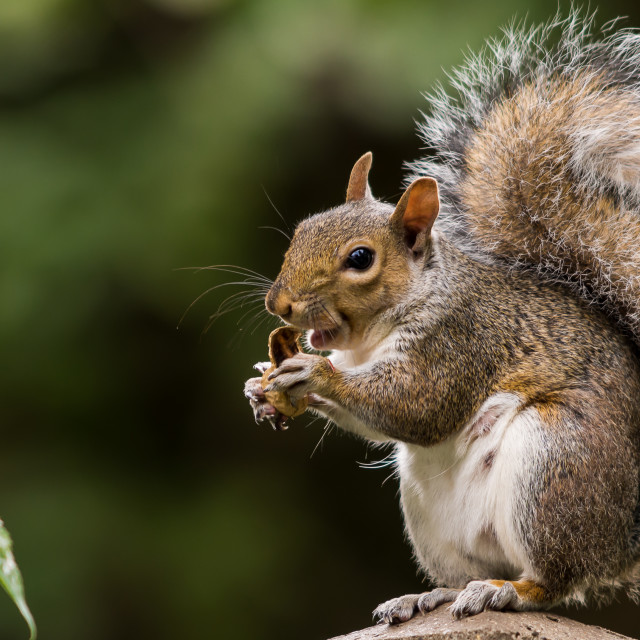 """Thumbs up squirrel"" stock image"