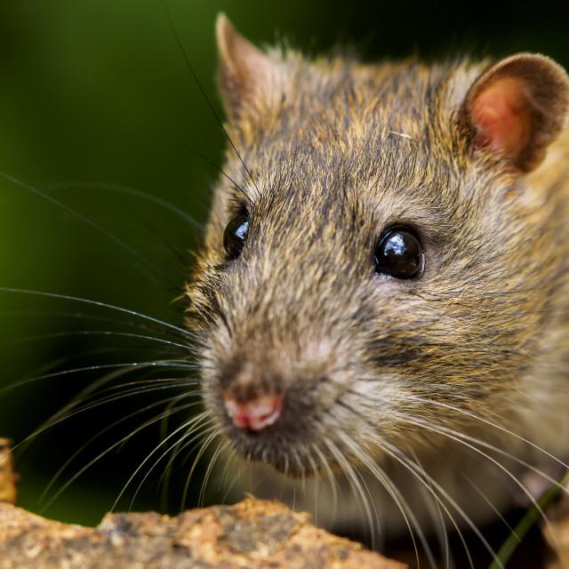 """""""Rat"""" stock image"""