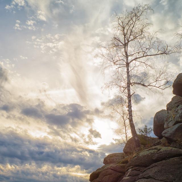 """""""Birch in the sky"""" stock image"""