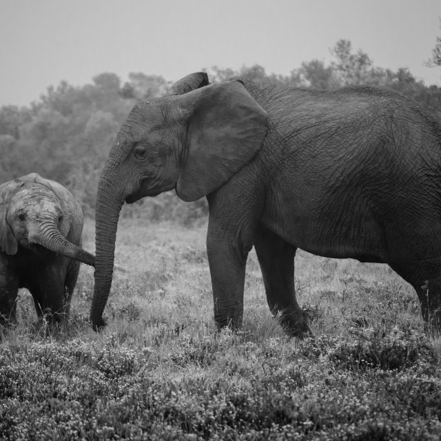 """Elephant Mother & Child"" stock image"