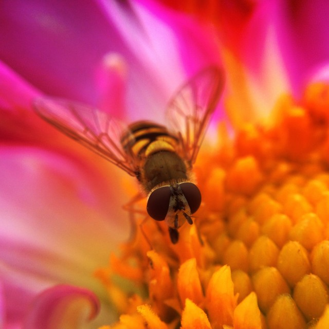 """Hoverfly pollinating a cosmos flower"" stock image"