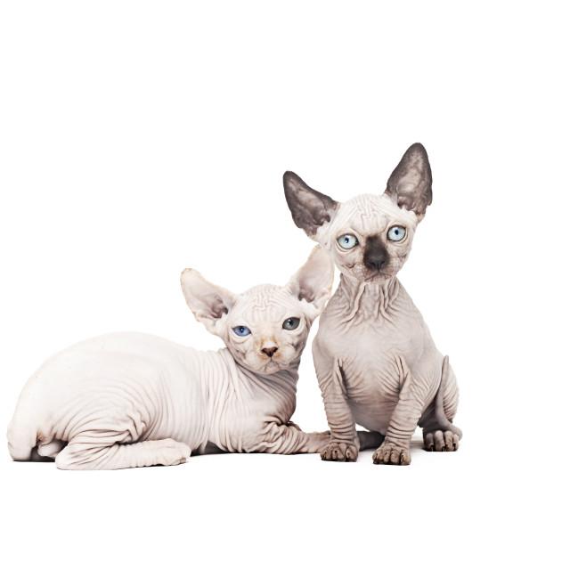"""Two sphynx kittens"" stock image"