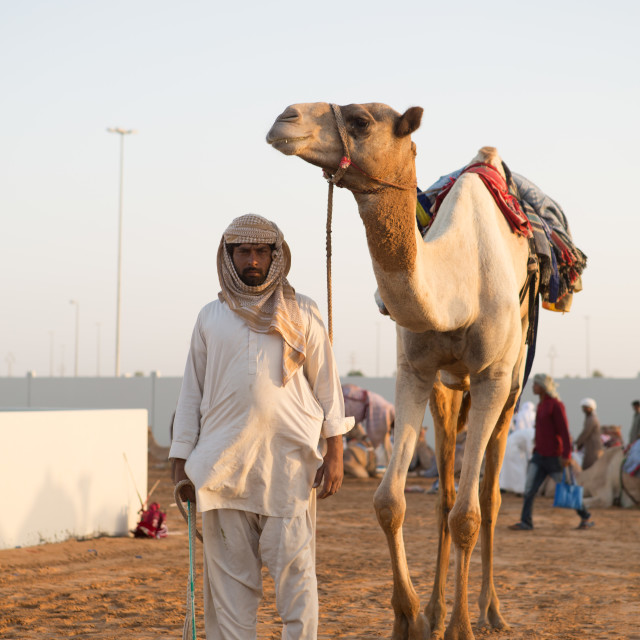 """Dubai camel racing club camels taken for warm up walks before racing"" stock image"