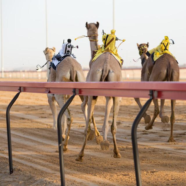 """Dubai camel racing club camels racing with radio jockeys"" stock image"
