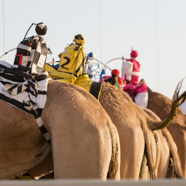 """Dubai camel racing club camels with radio manless jockeys, waiting to race."" stock image"