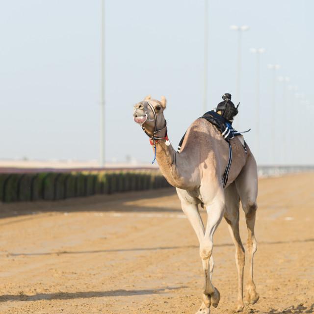 """Dubai camel racing club camel racing with radio jockeys"" stock image"