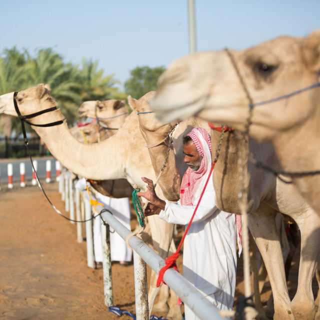 """""""Dubai camel racing club camels waiting to race at sunset."""" stock image"""