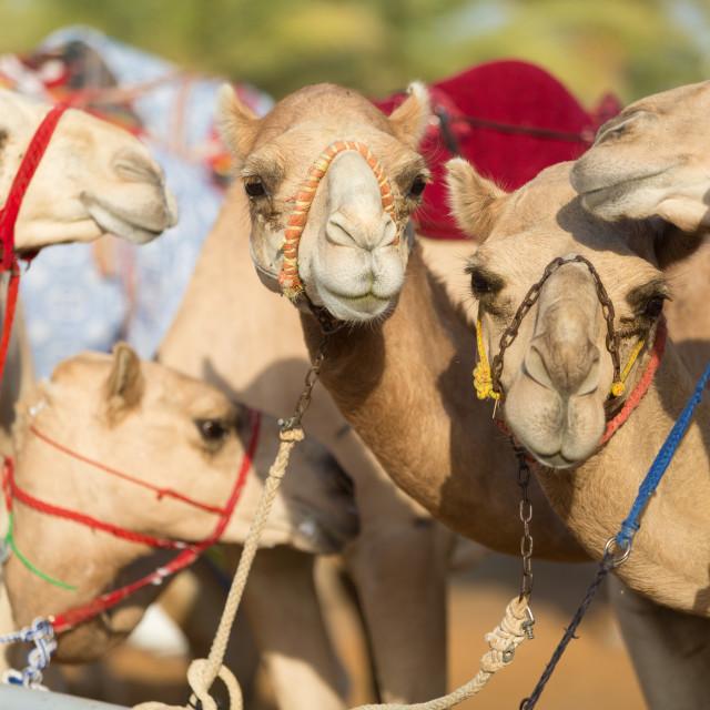 """""""Dubai camel racing club camels waiting to race"""" stock image"""