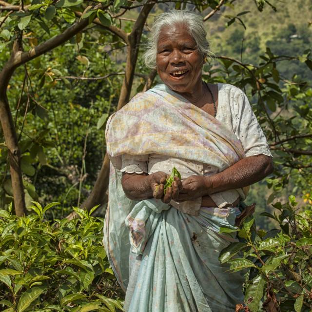 """""""Tea picker in Sri Lanka"""" stock image"""