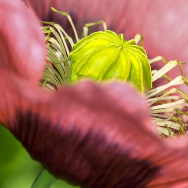 """Macro poppy flower"" stock image"