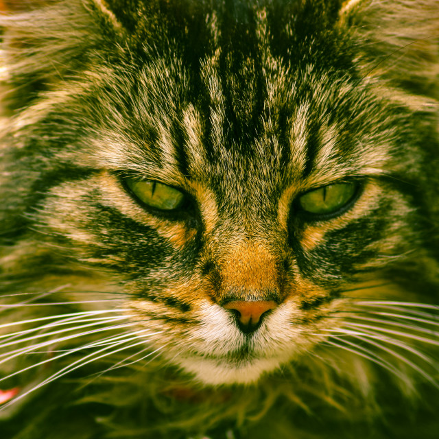 """Tabby cat"" stock image"