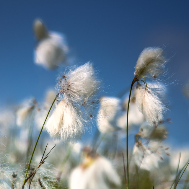 """Common cotton grass"" stock image"