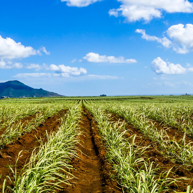 """Sugar cane field"" stock image"