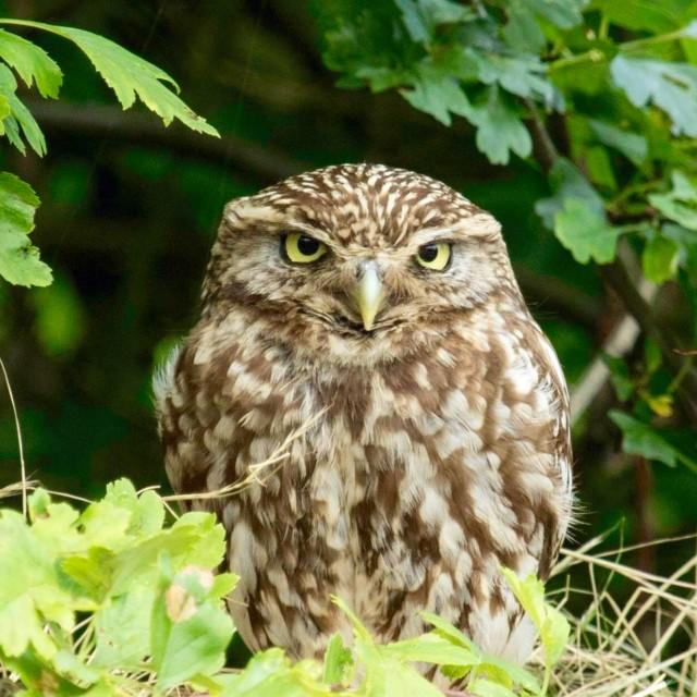 """Grumpy Little Owl"" stock image"