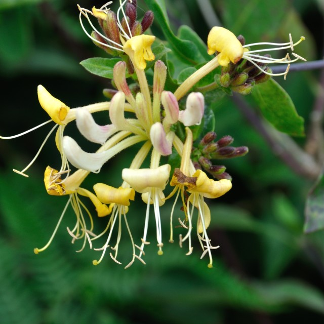 """Flowers of honeysuckle"" stock image"