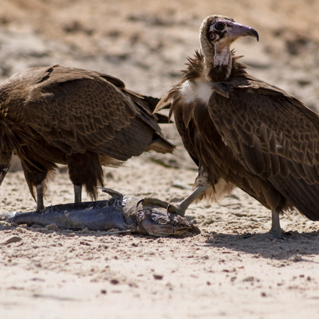 """Eating Vultures"" stock image"