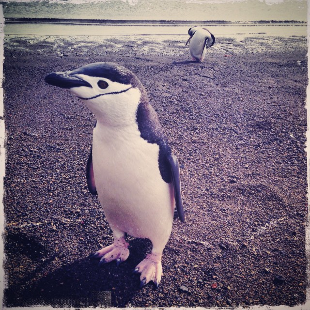 """Chinstrap Penguin on Beach"" stock image"