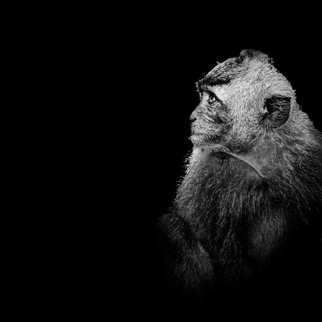 """Monkey portrait"" stock image"