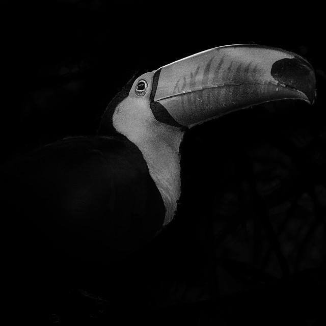 """""""Toucan portrait"""" stock image"""
