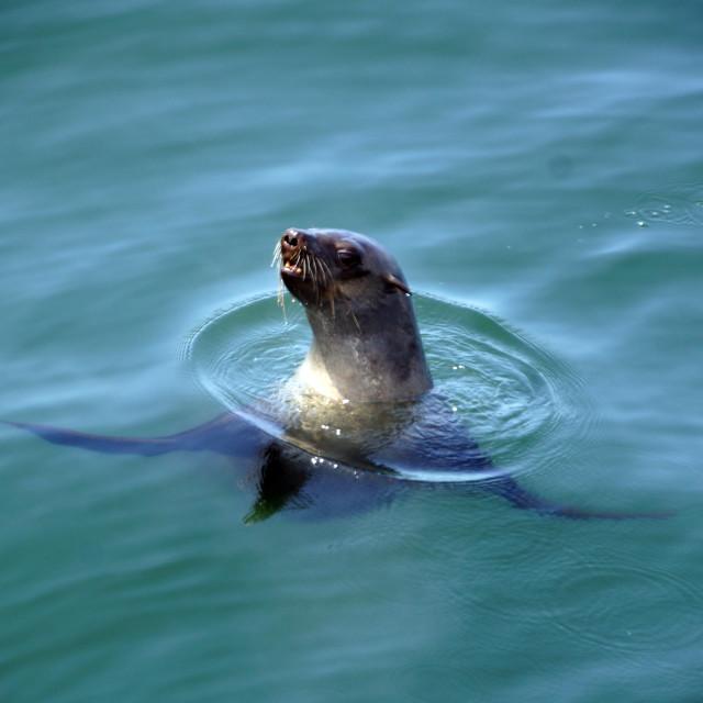 """Cape Fur Seal"" stock image"