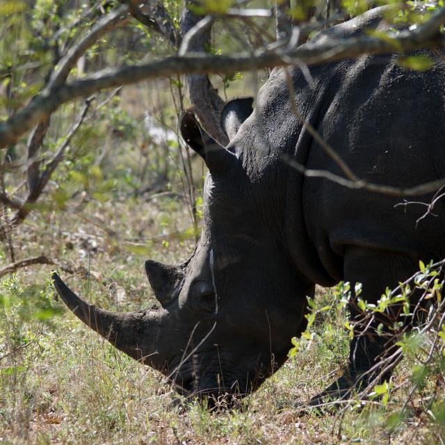 """""""Black Rhino in the bush"""" stock image"""