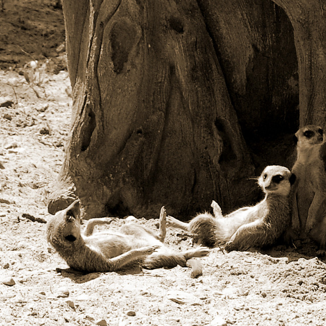 """Suricate joke in sepia"" stock image"