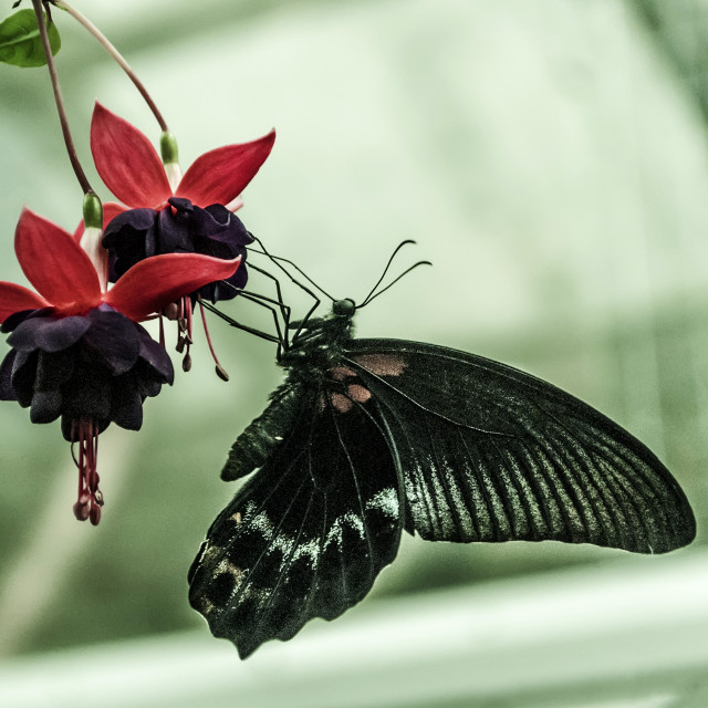 """Black butterfly eating"" stock image"