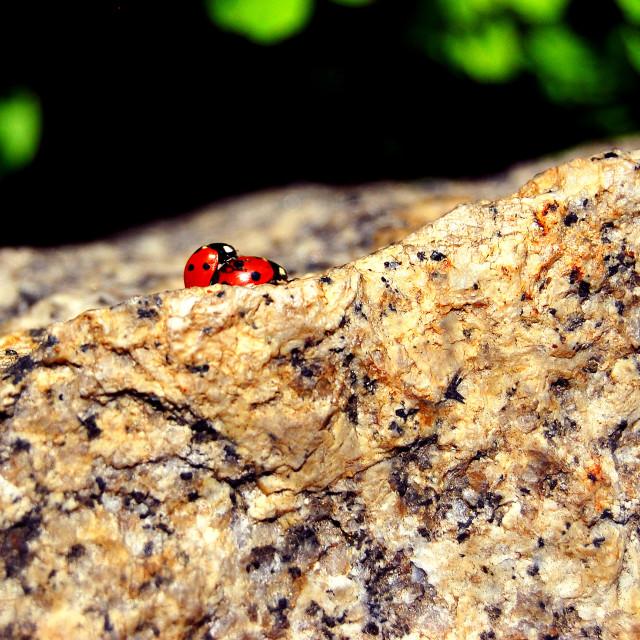 """Ladybugs in love"" stock image"