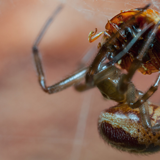 """False Widow spider eating Harlequin ladybird"" stock image"