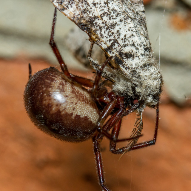 """False Widow spider eating Peppered Moth"" stock image"
