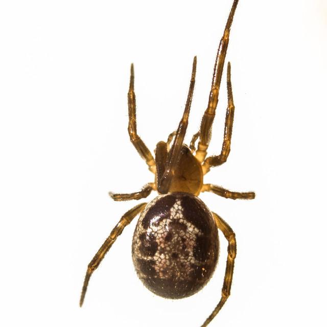 """False Widow spider (Steatoda nobilis)"" stock image"