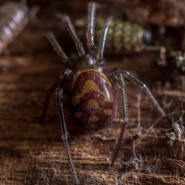 """Steatoda Grossa - Cupboard Spider"" stock image"