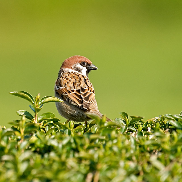 """Eurasian Tree Sparrow on the look-out!"" stock image"
