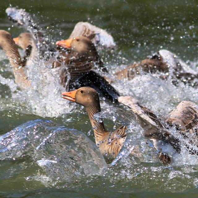 """""""Grauwe Gans, Greylag Goose, Anser anser"""" stock image"""