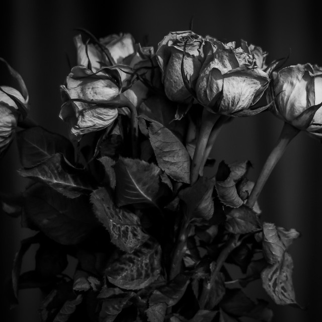 """dead roses II"" stock image"