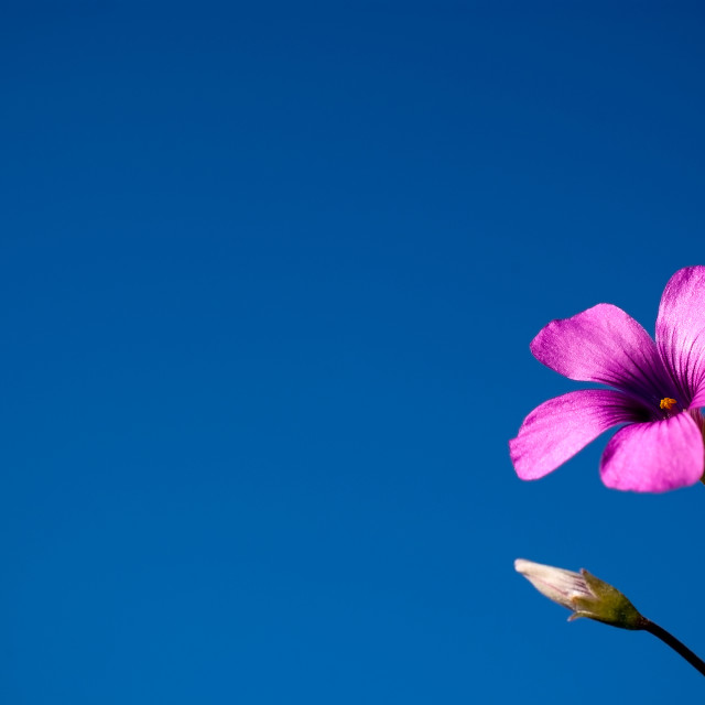"""Purple flower against clear blue sky"" stock image"