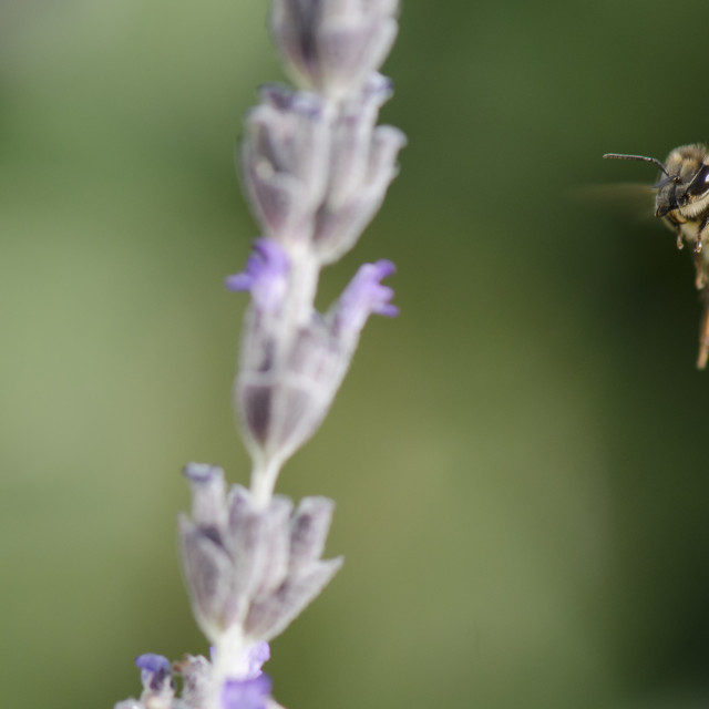 """Honey bee in flight hovering to Lavender"" stock image"